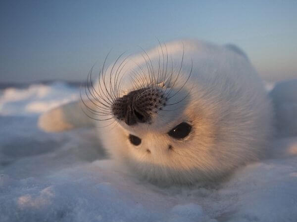 harp seal lying upside down looking into the camera