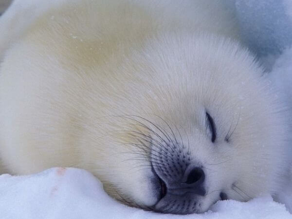 a harp seal smiling and sleeping