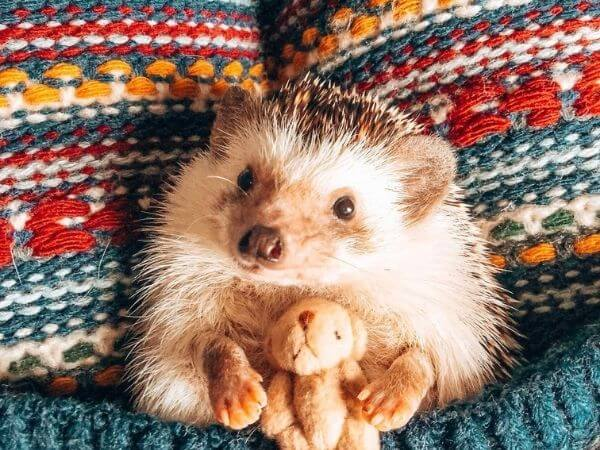 hedgehog with its soft toy