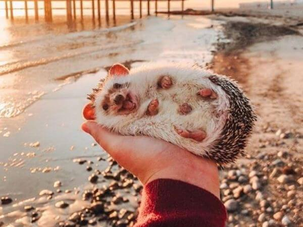 A hedgehog lying on its owners hand and smiling