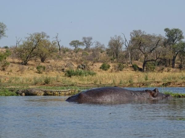 A Hippopotamus and Nile crocodile side by side in Kruger National Park