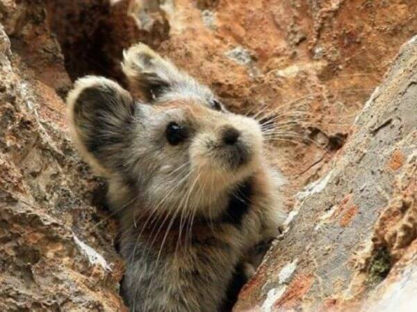 Ili pika spotted between mountains in China