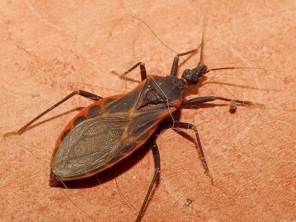 Closeup image of a kissing bug