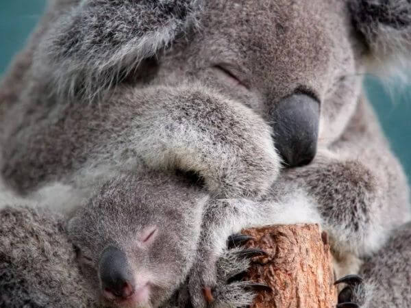 baby koala with his mother