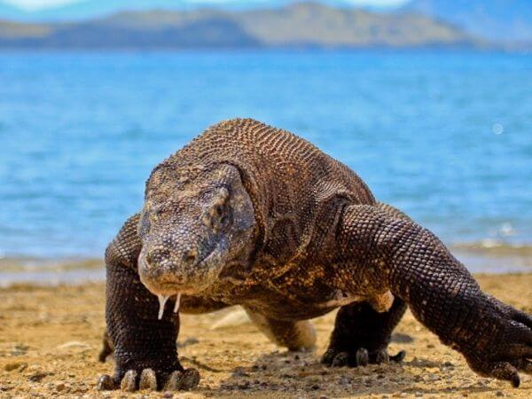 Komodo fragon is the world's largest lizard and the one of the biggest animal in the world