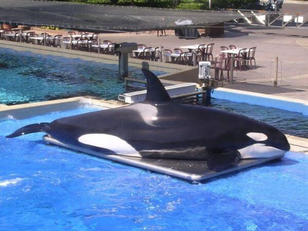 Lolita, at the Miami Seaquarium, is one of the oldest whales in captivity