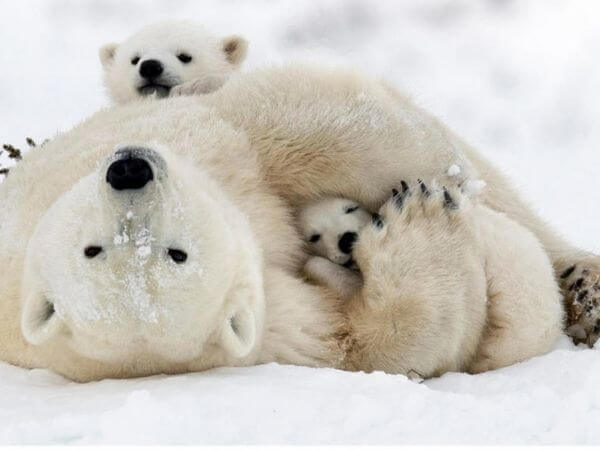 A mother playing with her cubs