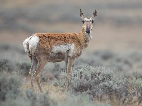 Adult female Pronghorn in Wyoming