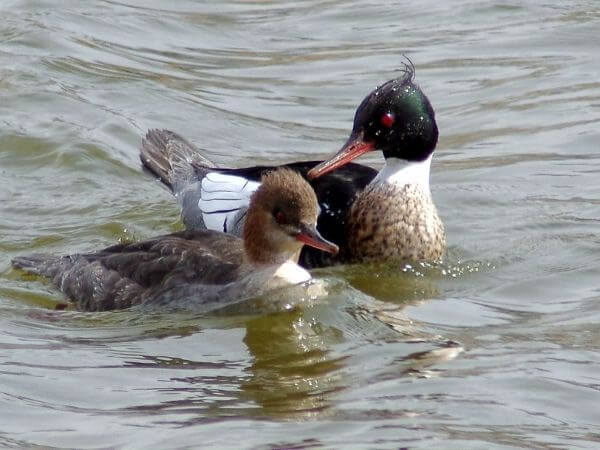A pair of red-breasted Merganser spotted in Buffalo grove, Illinois