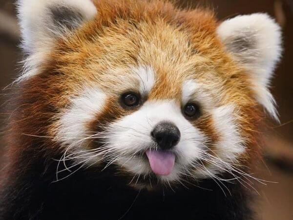 a cute red panda with his tongue out