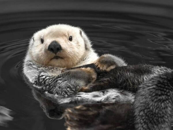 sea otter floating on its back