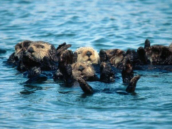 a group of sea otters in the sea