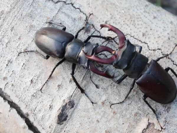 two male stag beetles fighting on dead wood