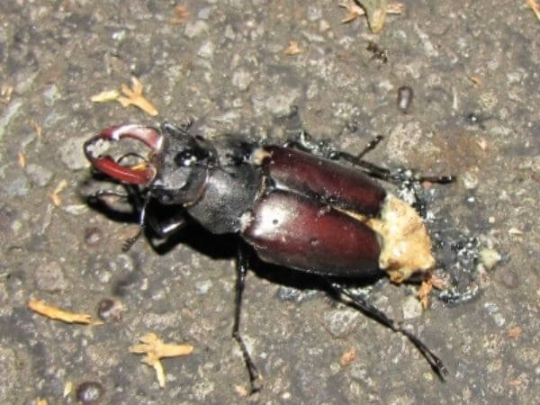 Trodden male Stag beetle corpse oozing fat