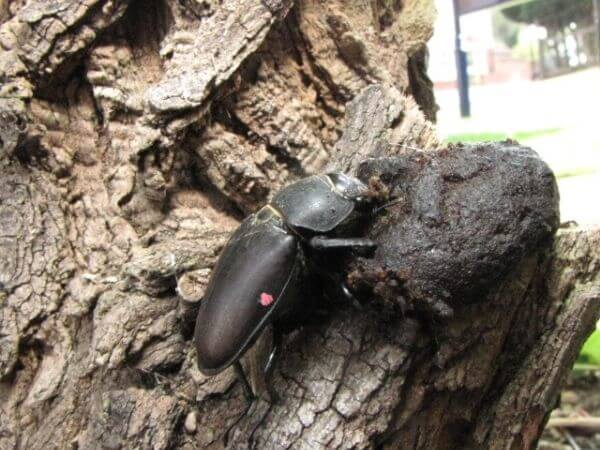 Female Stag beetle feeding at the end of the season
