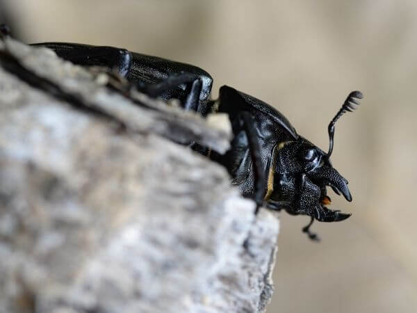 stag beetle facts