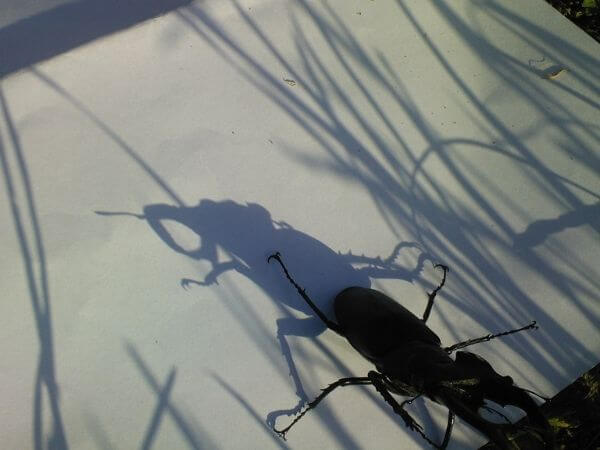 a male stag beetle basking in the sun