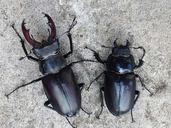 Male (left) and female (right) Stag beetle
