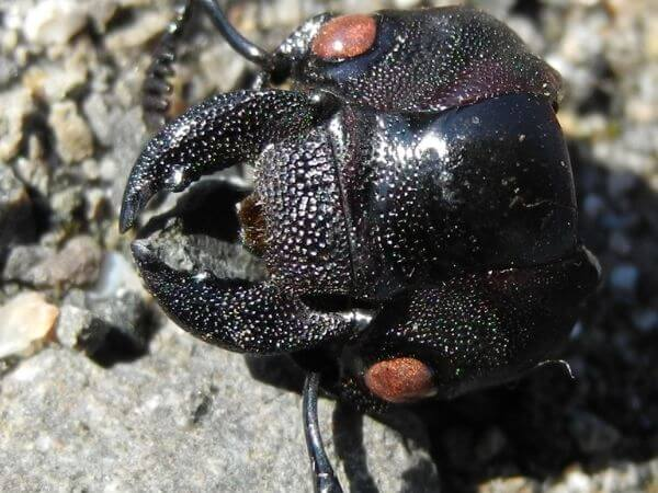 A stag beetle lying dead on a rock