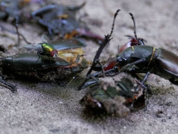 A Stag beetle pushing a crushed dead beetle along the ground