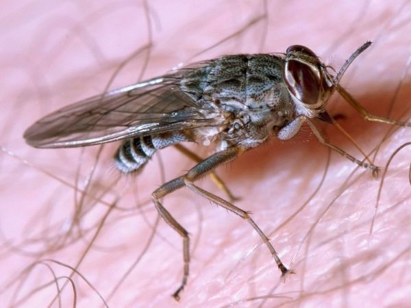 Tsetse fly is the second most dangerous animal in the world