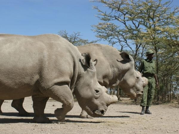 The last two Northern White Rhinos on the planet
