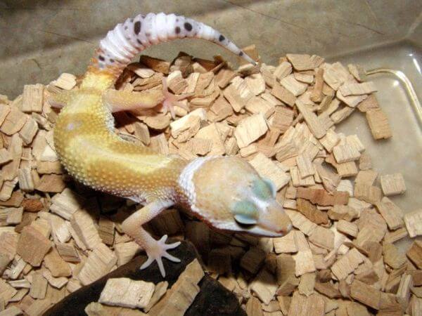 leopard gecko ready to shed off his tail