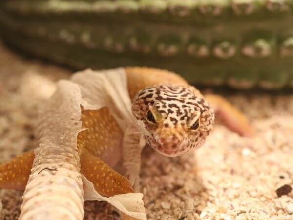 leopard gecko chewing off his shedded skin
