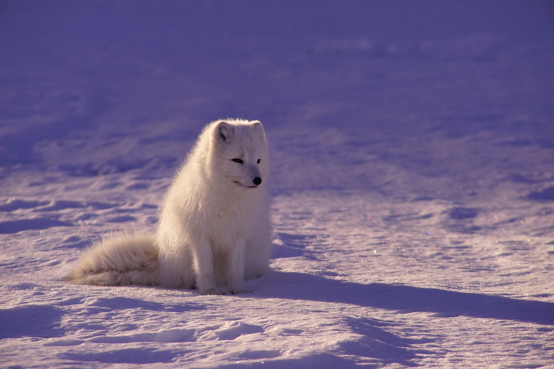 11 amazing facts about arctic wolf