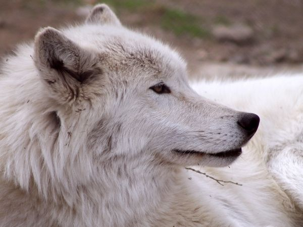 Amazing facts about arctic wolf