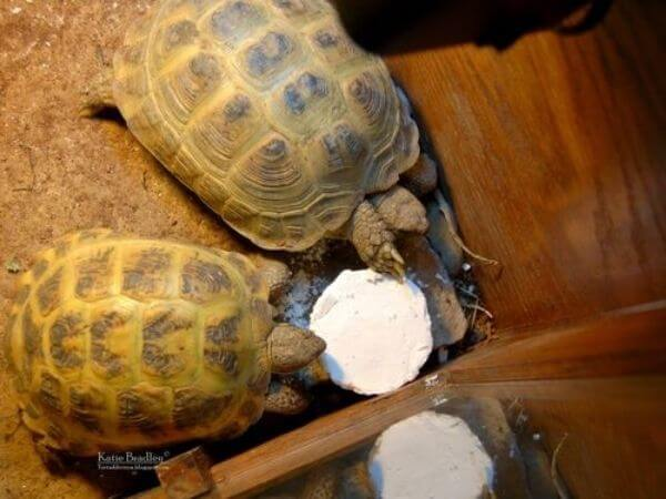 turtles eating calcium