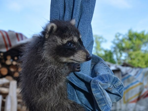 11 amazing facts about Baby Raccoon
