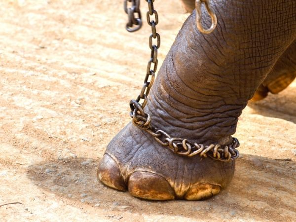 Elephant in chains as a part of training crush