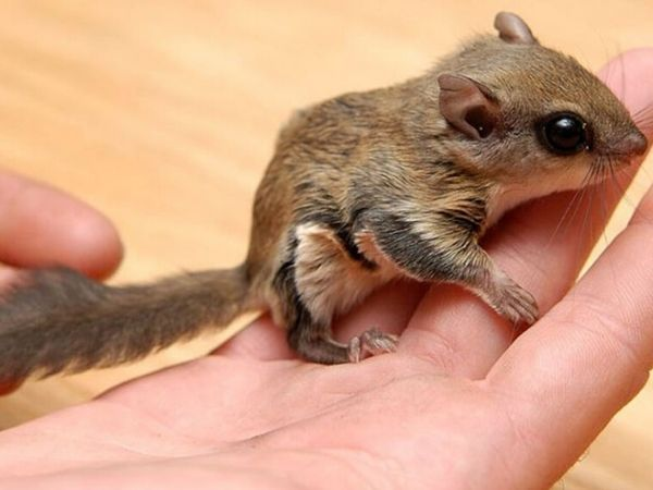 Pet Northern Flying Squirrel