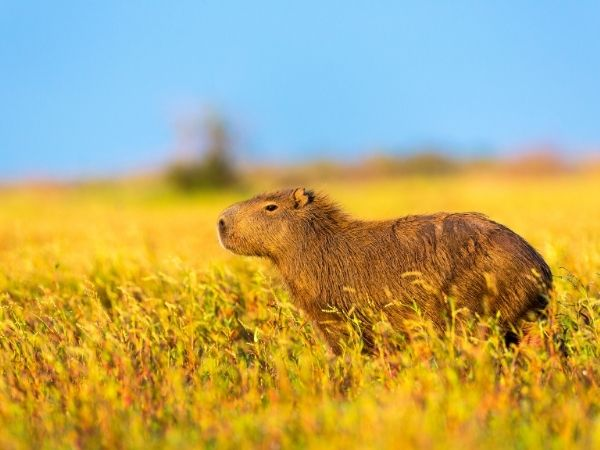 A cute capybara sitting in a mustard field - 9 legal exotic pets you can own in Kansas