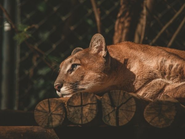 A cougar lying down, resting his head on a piece of wood