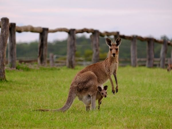 A kangaroo and her baby standing in a field
