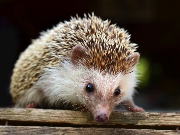 porcupine sitting on a wooden bench - legal exotic pets you can own in Wisconsin