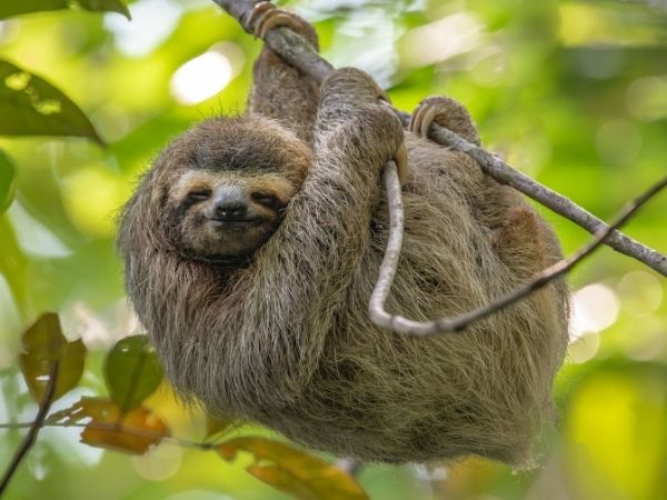 two-toed sloth hanging on a tree