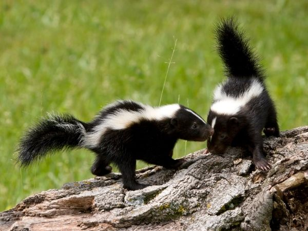 Two skunks playing on a log of wood